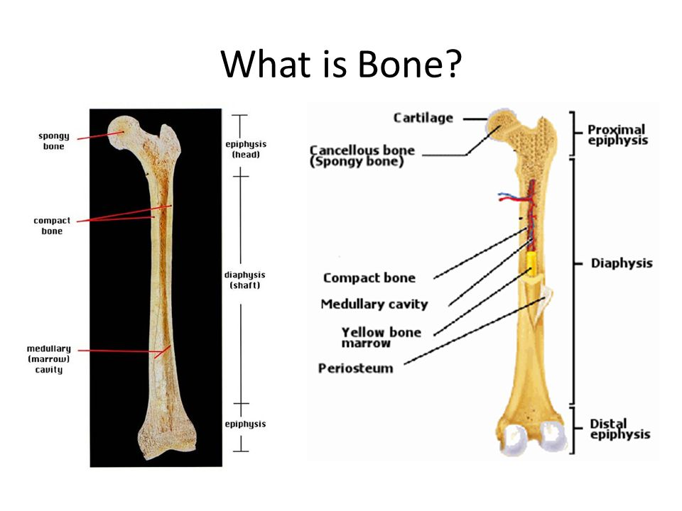 What is Bone