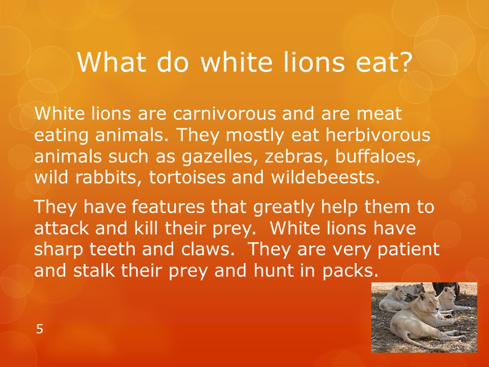 What do white lions eat