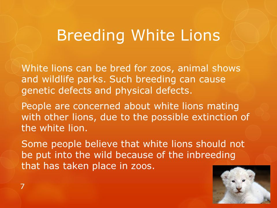 Breeding White Lions
