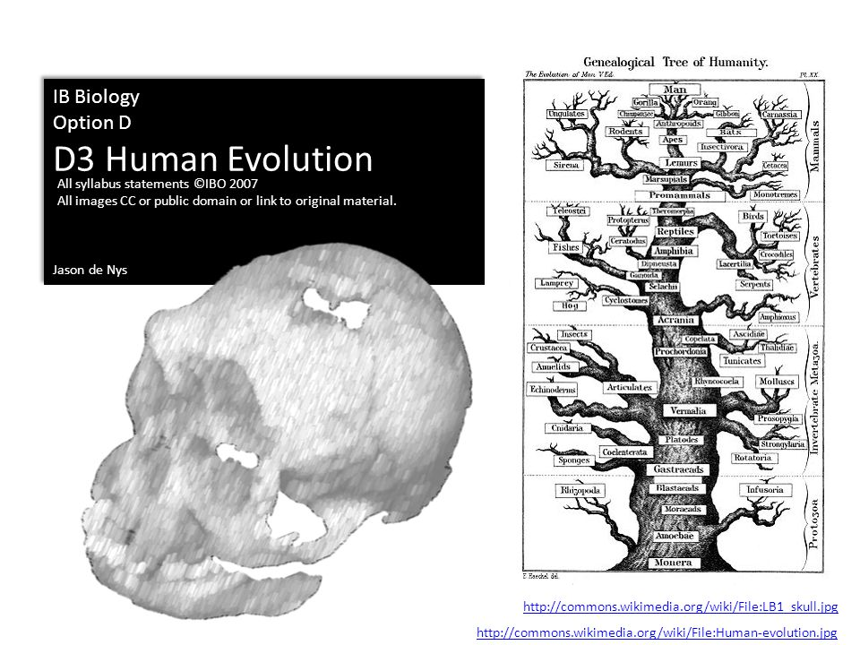 D3 Human Evolution IB Biology Option D Jason de Nys