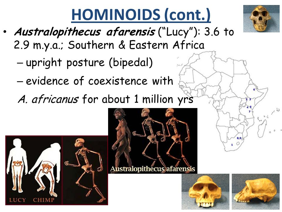 HOMINOIDS (cont.) Australopithecus afarensis ( Lucy ): 3.6 to 2.9 m.y.a.; Southern & Eastern Africa.