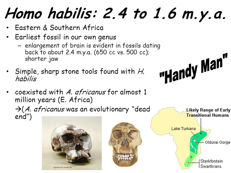 Homo habilis: 2.4 to 1.6 m.y.a. Eastern & Southern Africa