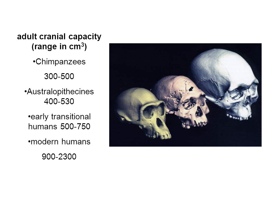 adult cranial capacity (range in cm3)