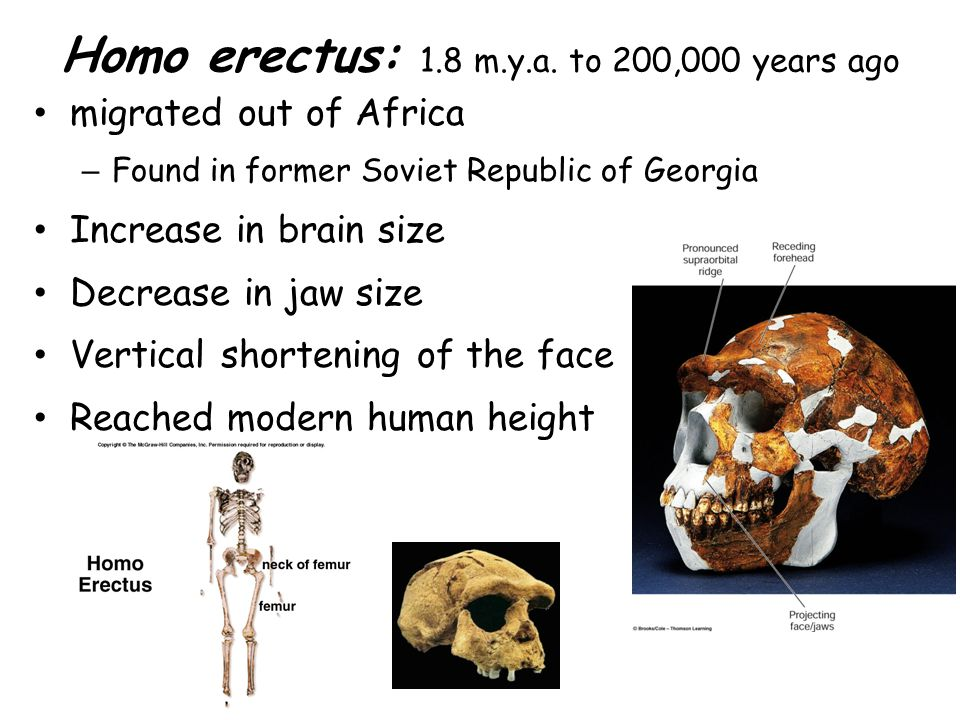 Homo erectus: 1.8 m.y.a. to 200,000 years ago
