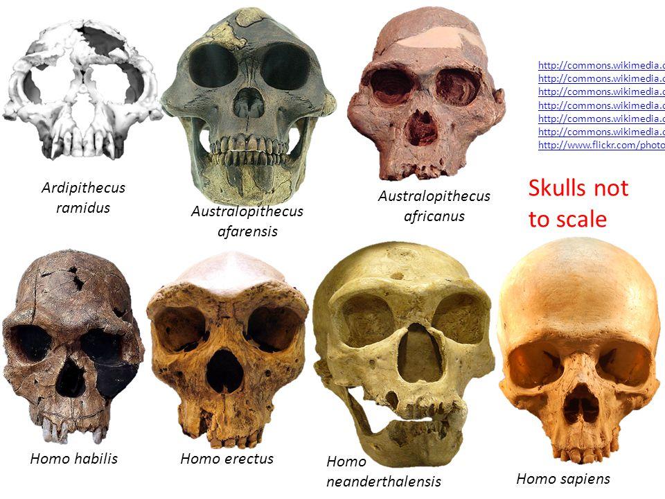 Skulls not to scale Ardipithecus ramidus Australopithecus africanus