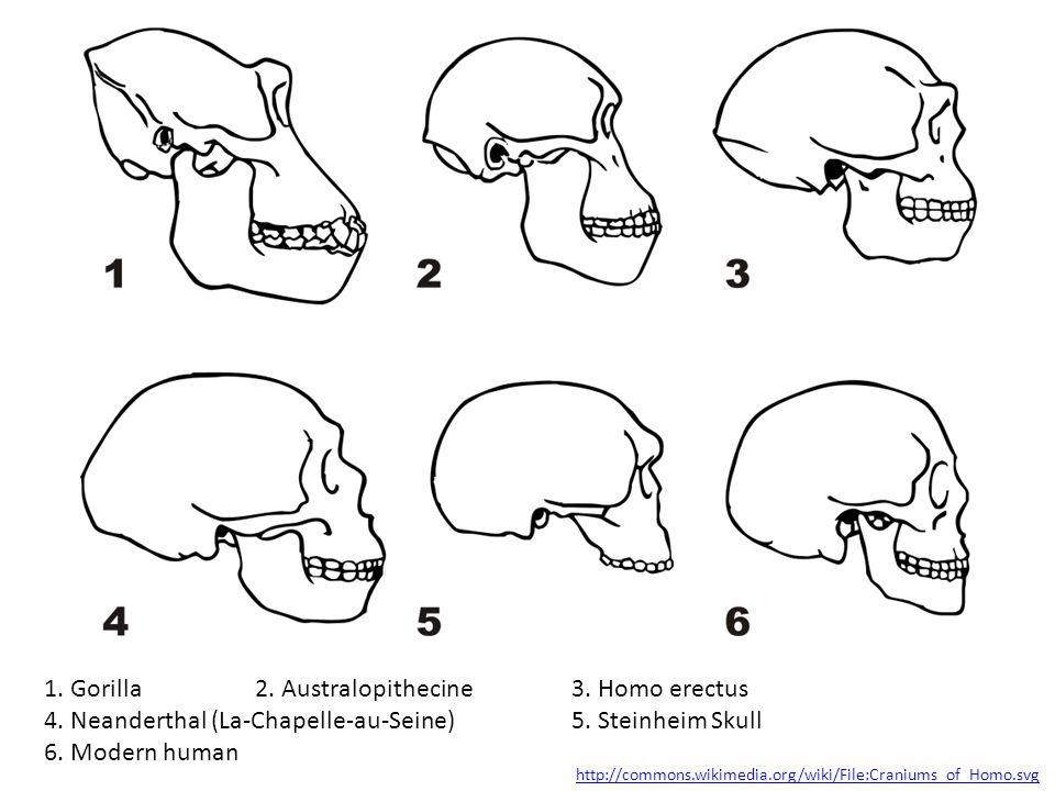 1. Gorilla 2. Australopithecine 3. Homo erectus