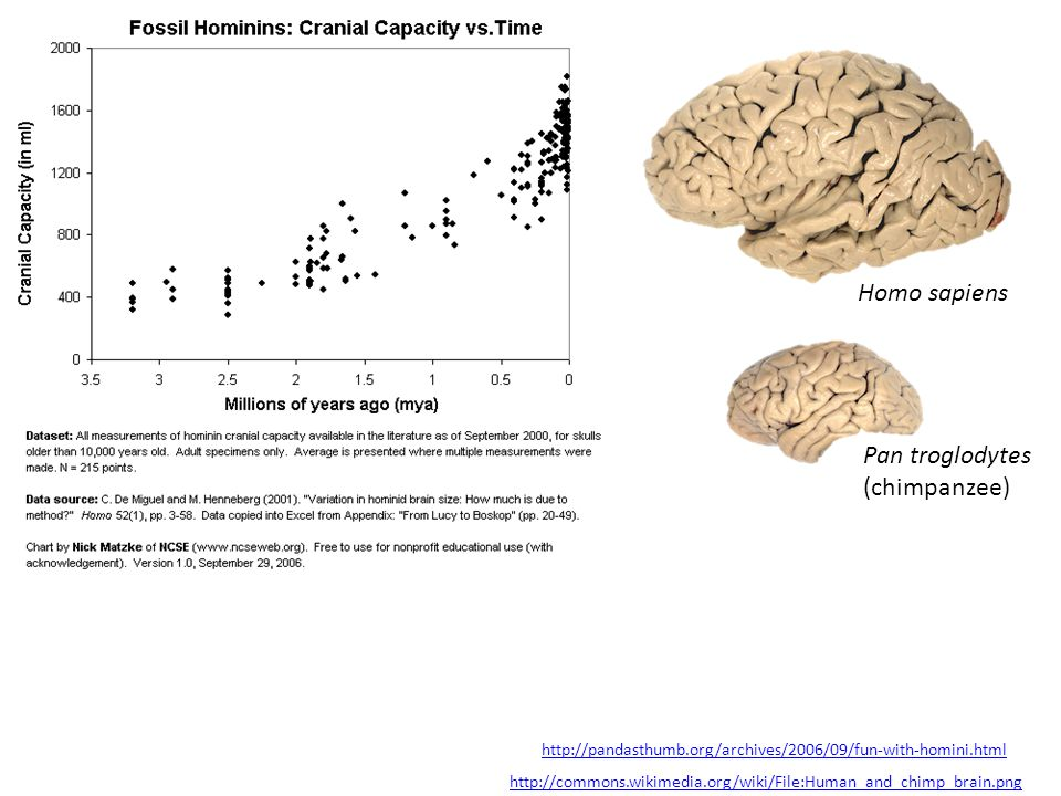 Homo sapiens Pan troglodytes (chimpanzee)