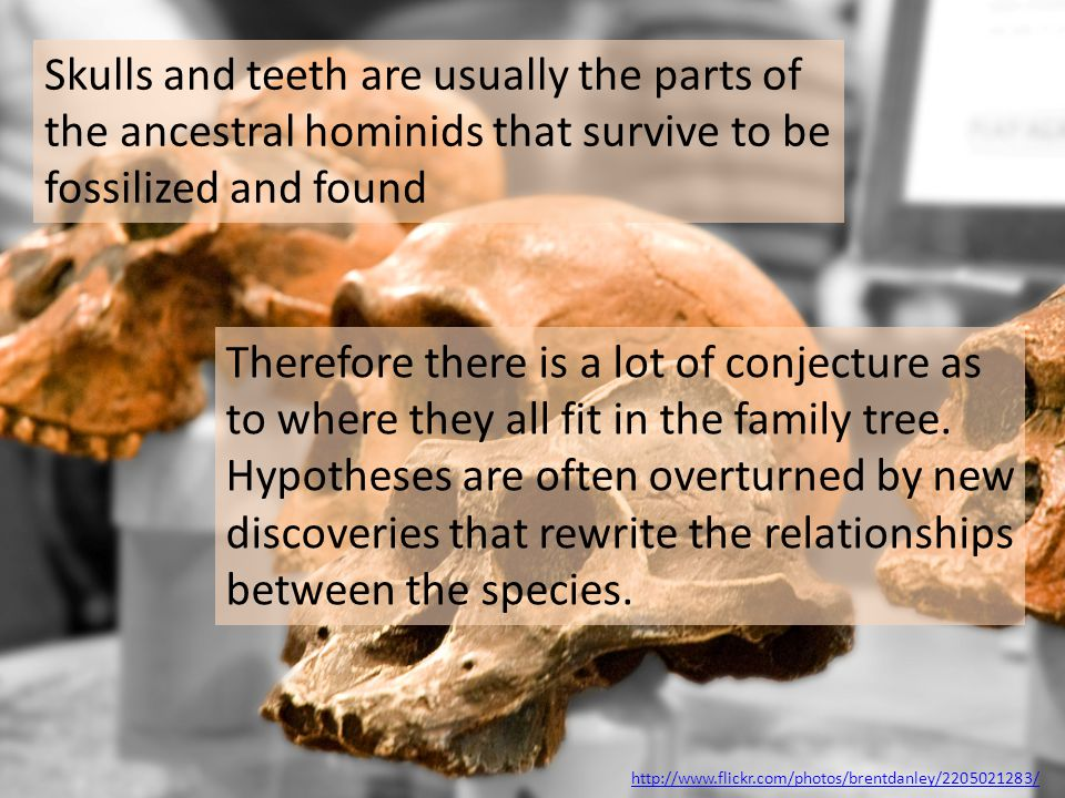 Skulls and teeth are usually the parts of the ancestral hominids that survive to be fossilized and found
