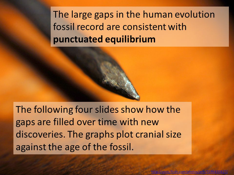 The large gaps in the human evolution fossil record are consistent with punctuated equilibrium