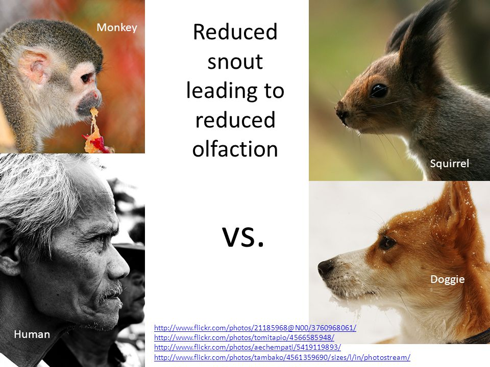 Reduced snout leading to reduced olfaction