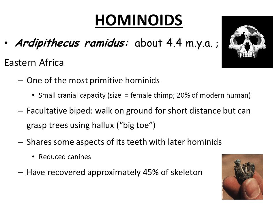 HOMINOIDS Ardipithecus ramidus: about 4.4 m.y.a. ; Eastern Africa