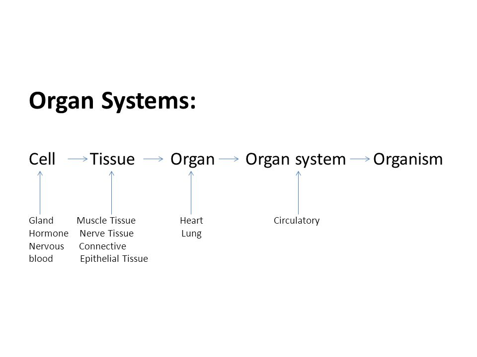 From Cells to Organ Systems Organ Systems: Cell Tissue Organ Organ system Organism Gland Muscle Tissue Heart Circulatory Hormone Nerve Tissue Lung Nervous Connective blood Epithelial Tissue