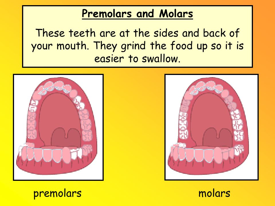 Premolars and Molars These teeth are at the sides and back of your mouth. They grind the food up so it is easier to swallow.