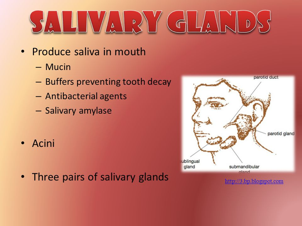 Salivary Glands Produce saliva in mouth Acini