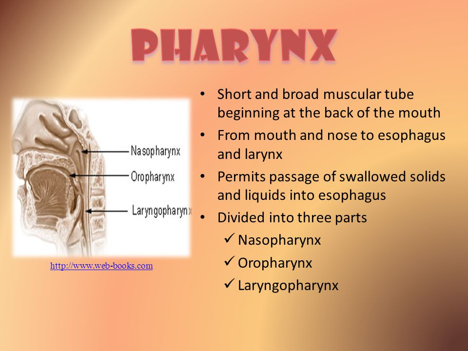 Pharynx Short and broad muscular tube beginning at the back of the mouth. From mouth and nose to esophagus and larynx.