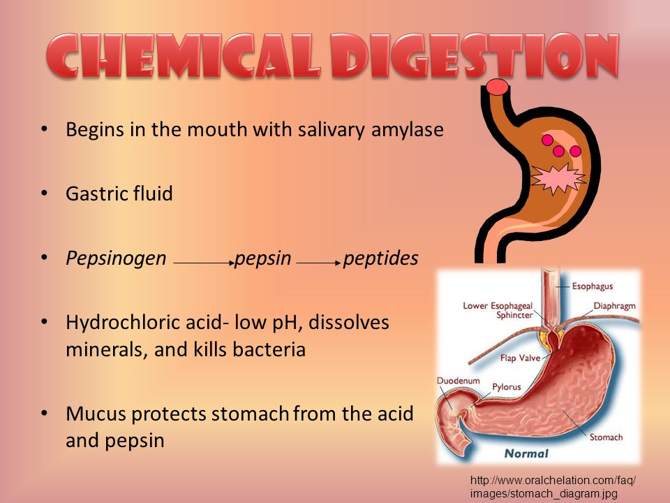 Chemical Digestion Begins in the mouth with salivary amylase