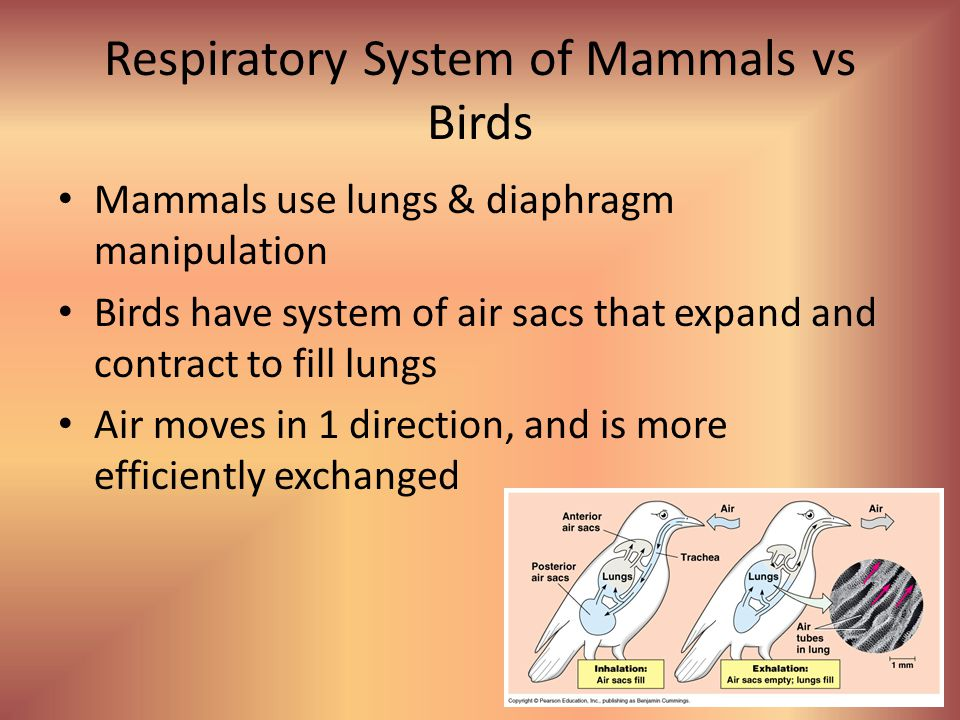 Respiratory System of Mammals vs Birds