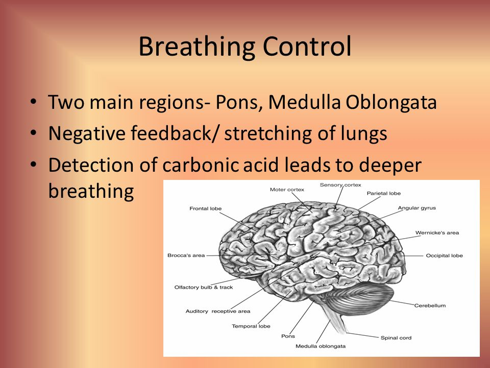 Breathing Control Two main regions- Pons, Medulla Oblongata
