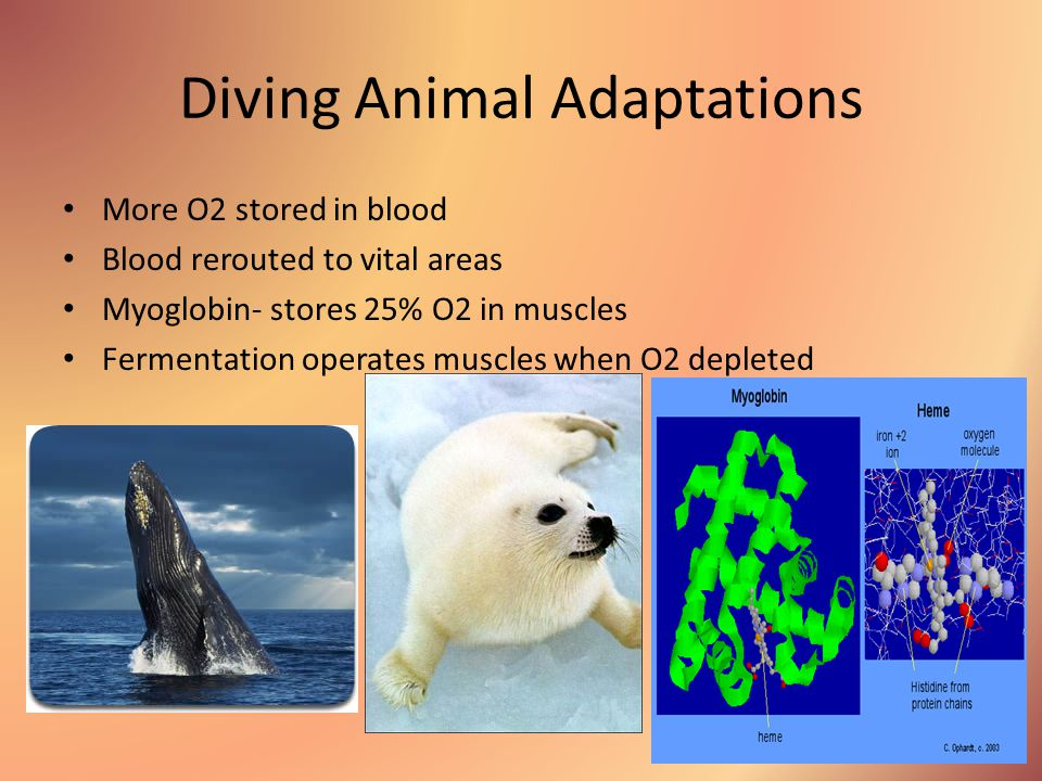Diving Animal Adaptations