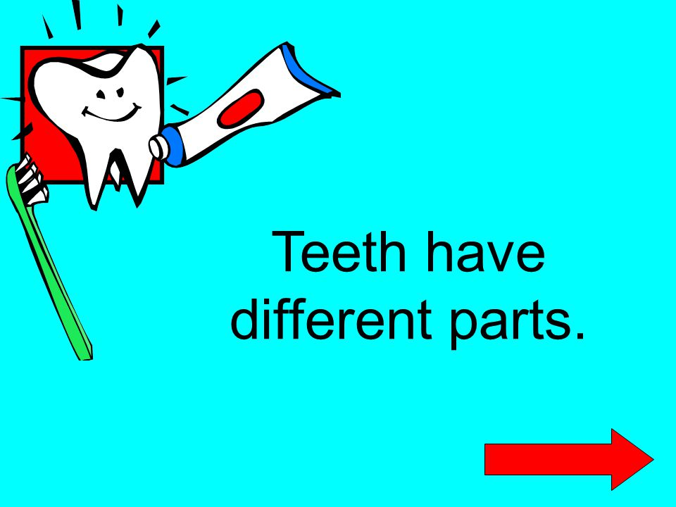 Teeth have different parts.