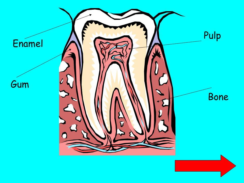 Pulp Enamel Gum Bone