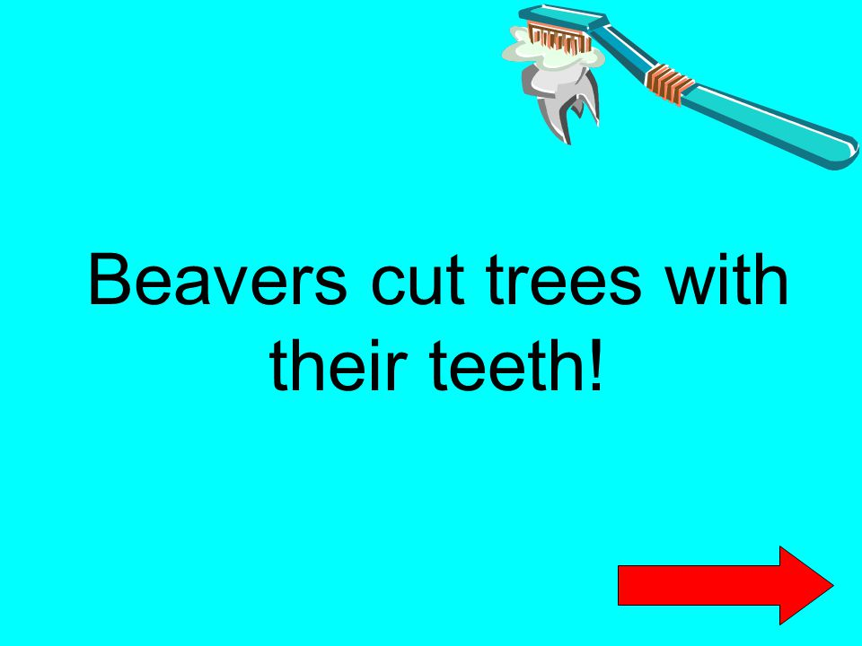 Beavers cut trees with their teeth!