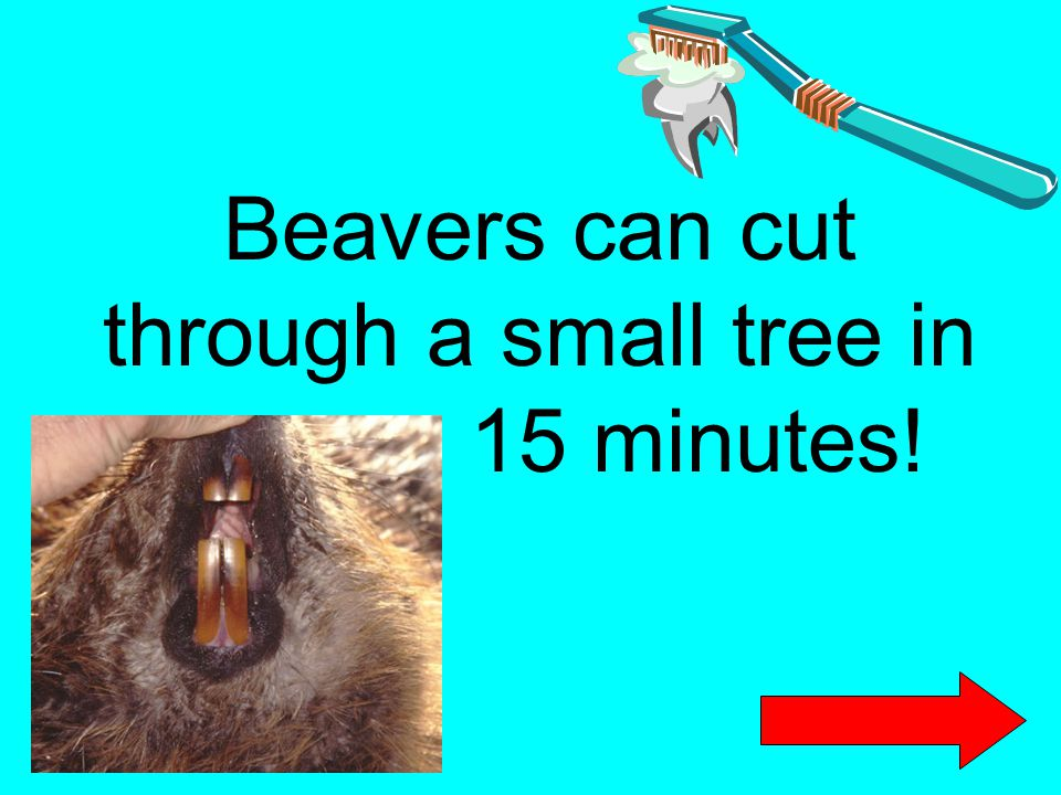 Beavers can cut through a small tree in 15 minutes!