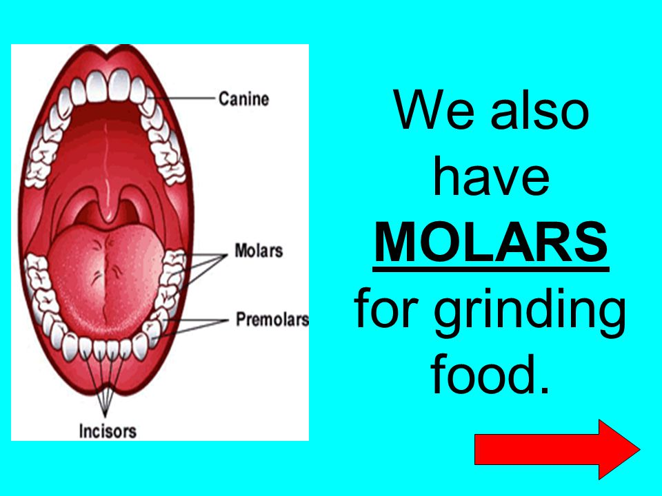 We also have MOLARS for grinding food.