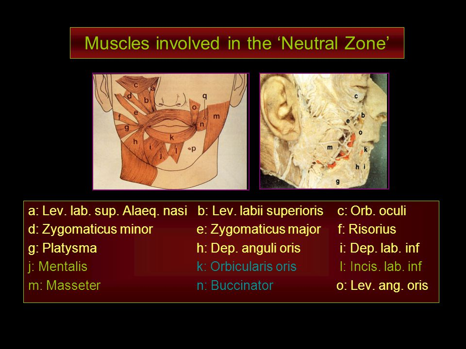 Muscles involved in the 'Neutral Zone'