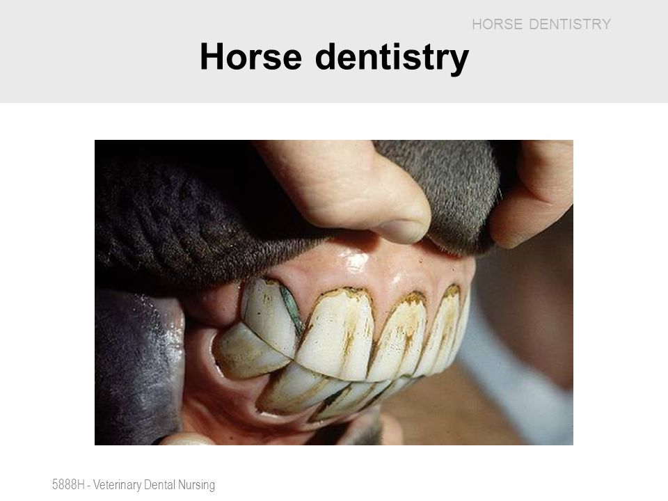 Horse dentistry 5888H - Veterinary Dental Nursing