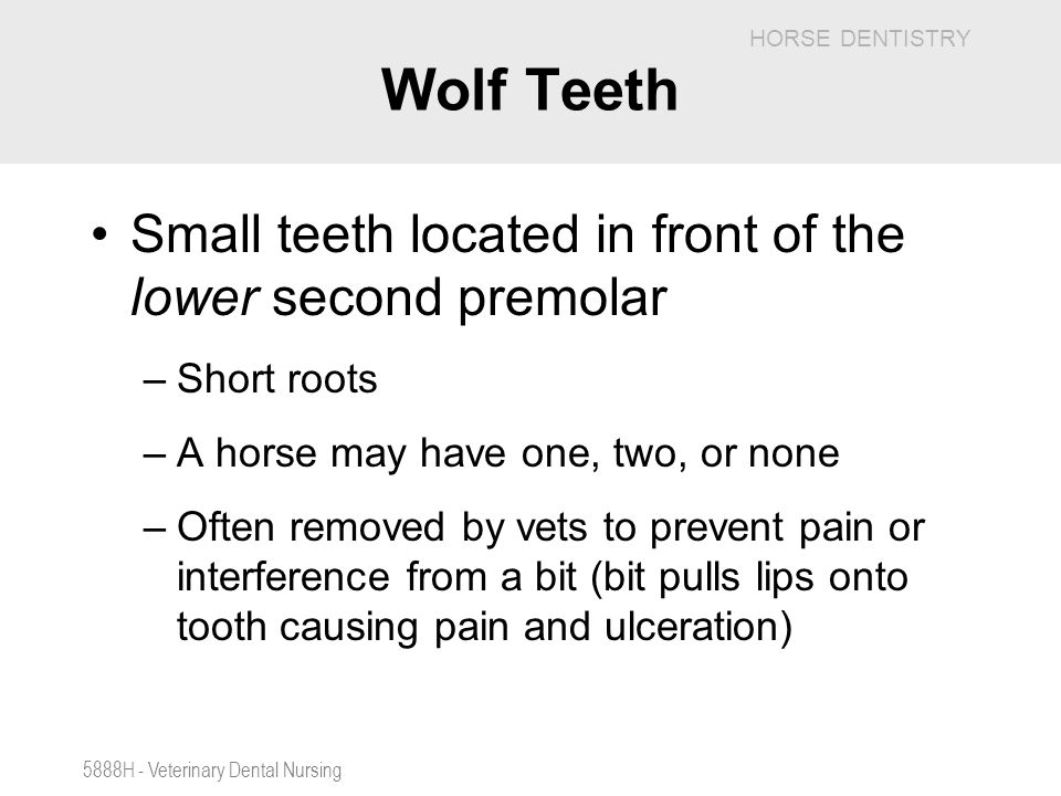 Wolf Teeth Small teeth located in front of the lower second premolar