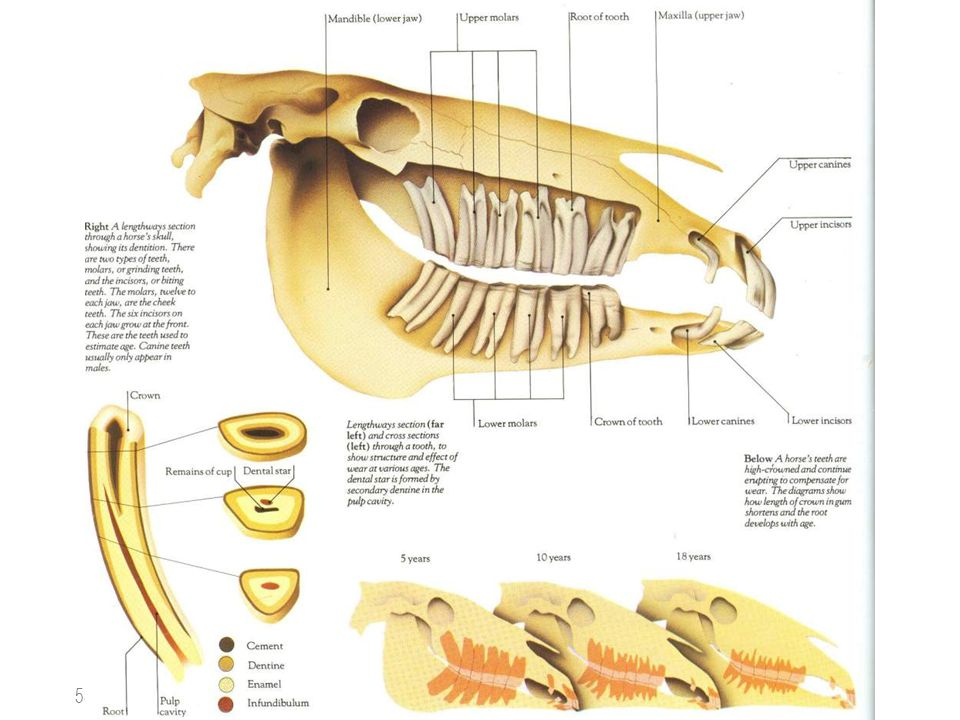 Luxury Equine Dental Anatomy Gallery - Anatomy And Physiology ...