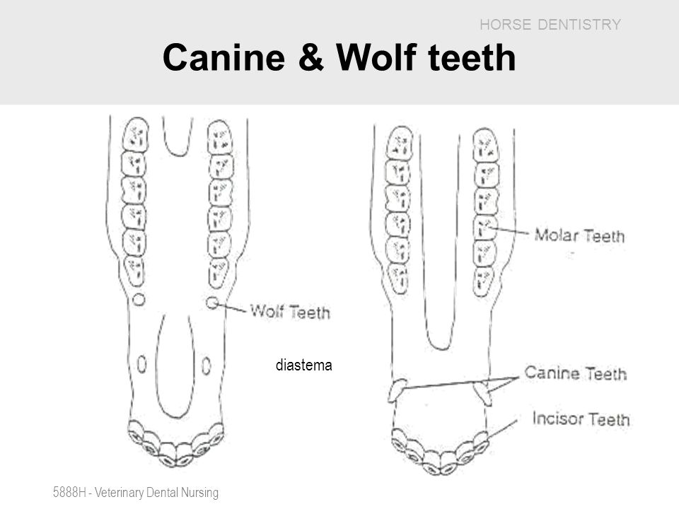 Canine & Wolf teeth diastema 5888H - Veterinary Dental Nursing