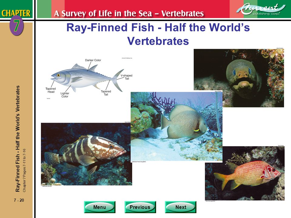 Ray-Finned Fish - Half the World's Vertebrates