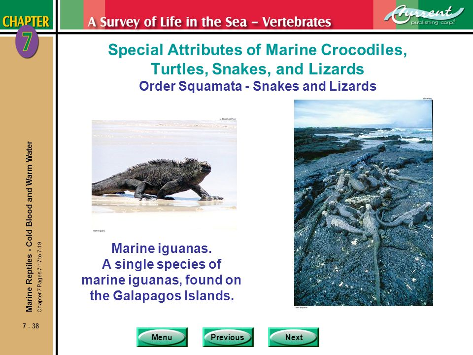 A single species of marine iguanas, found on the Galapagos Islands.