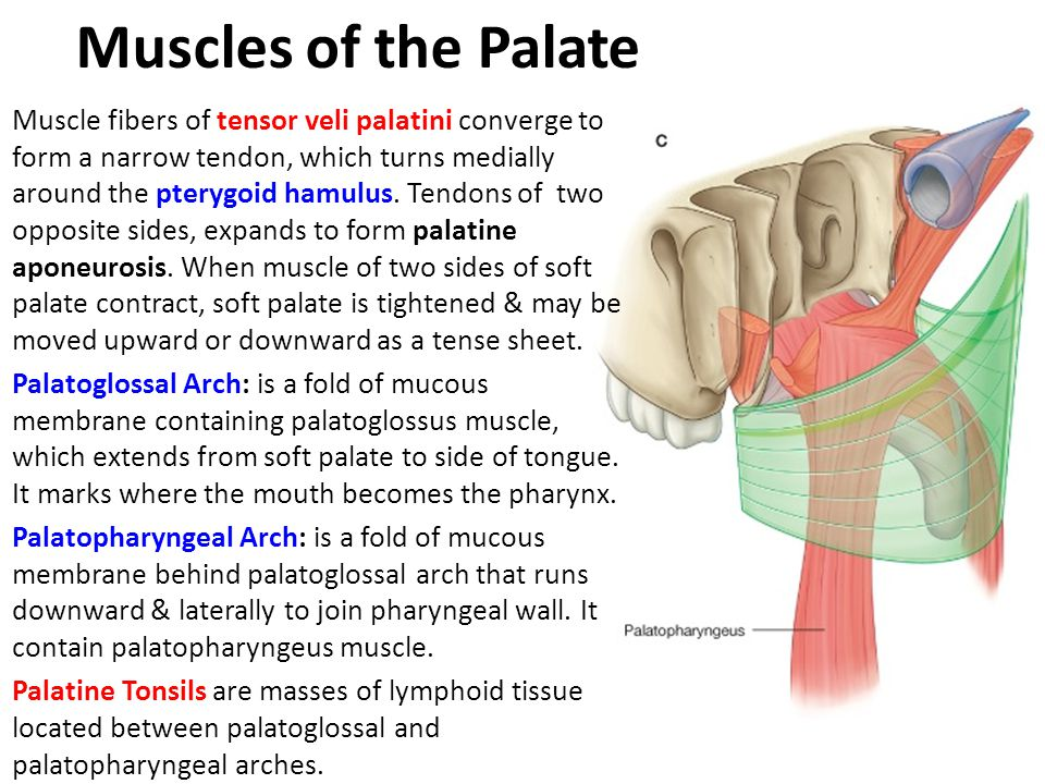 Muscles of the Palate