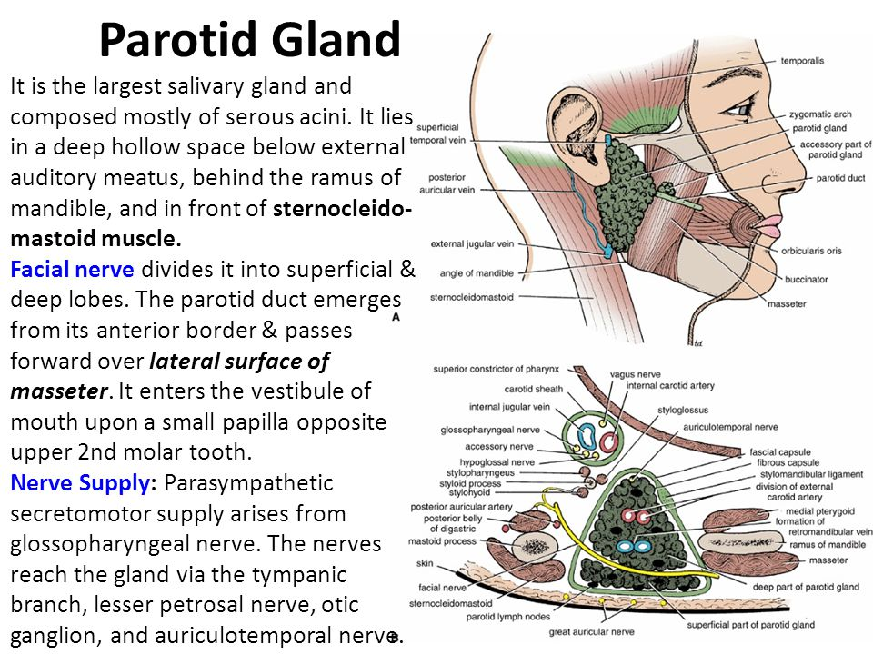 Oral Cavity & Salivery Glands - ppt video online download