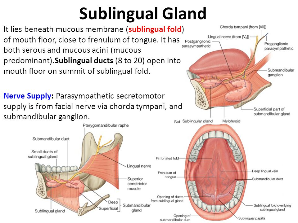 Sublingual Gland