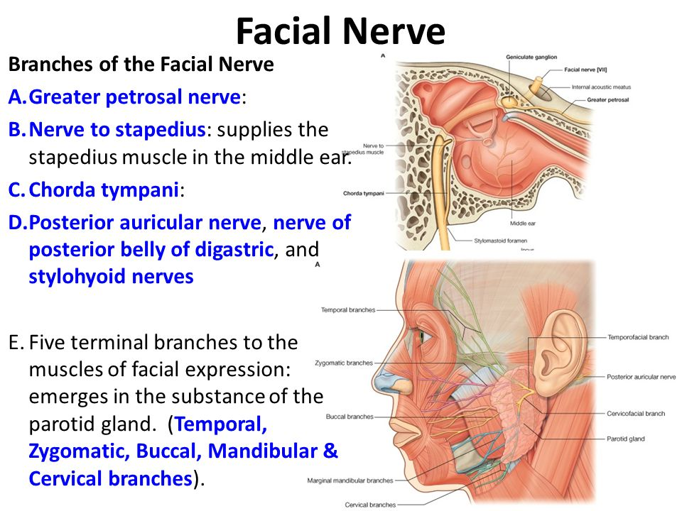 Facial Nerve Branches of the Facial Nerve Greater petrosal nerve: