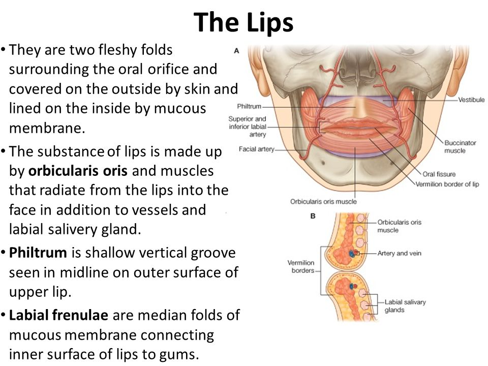 The Lips They are two fleshy folds surrounding the oral orifice and covered on the outside by skin and lined on the inside by mucous membrane.