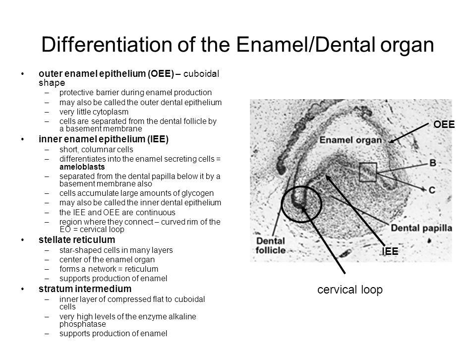 Differentiation of the Enamel/Dental organ