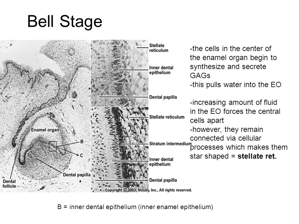Bell Stage -the cells in the center of the enamel organ begin to