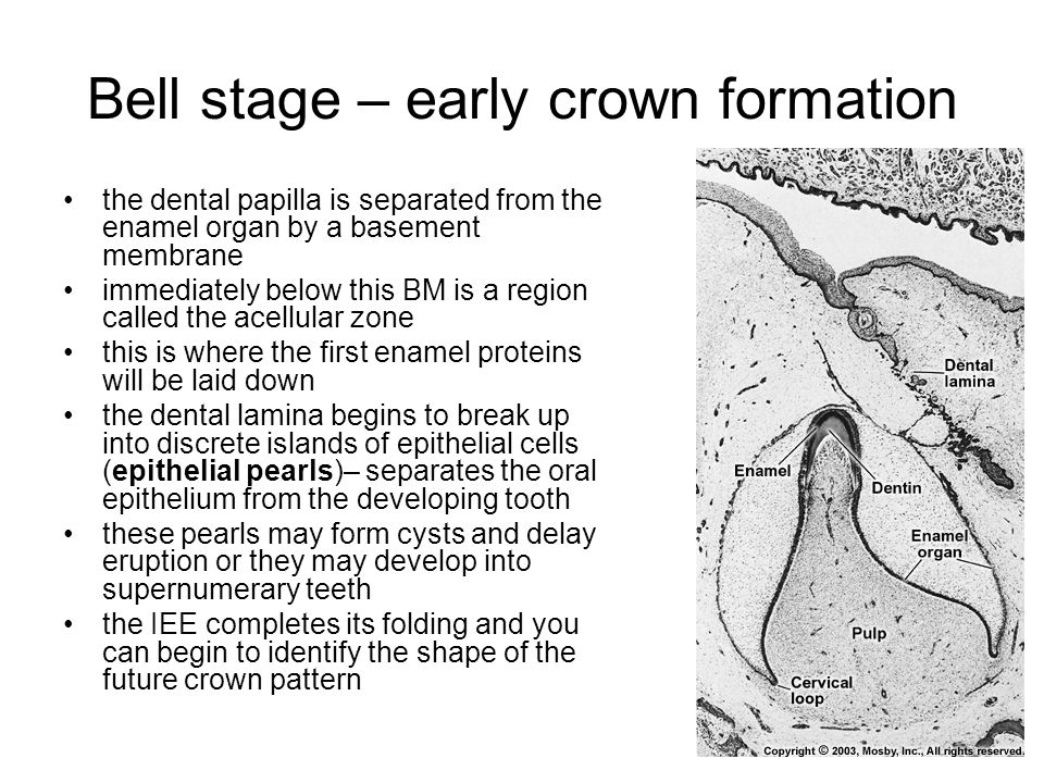 Bell stage – early crown formation