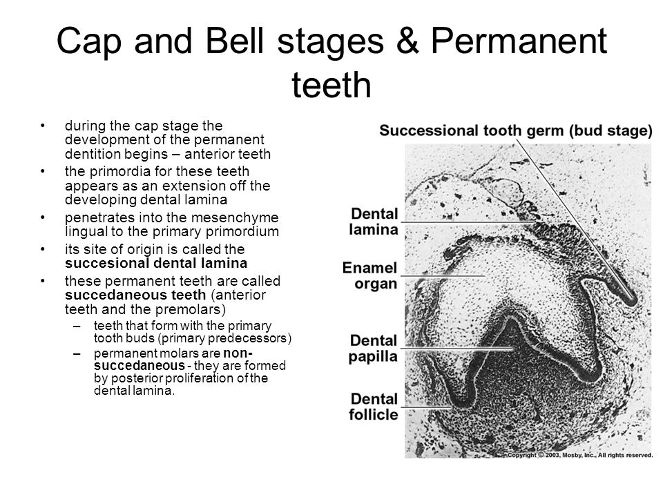 Cap and Bell stages & Permanent teeth