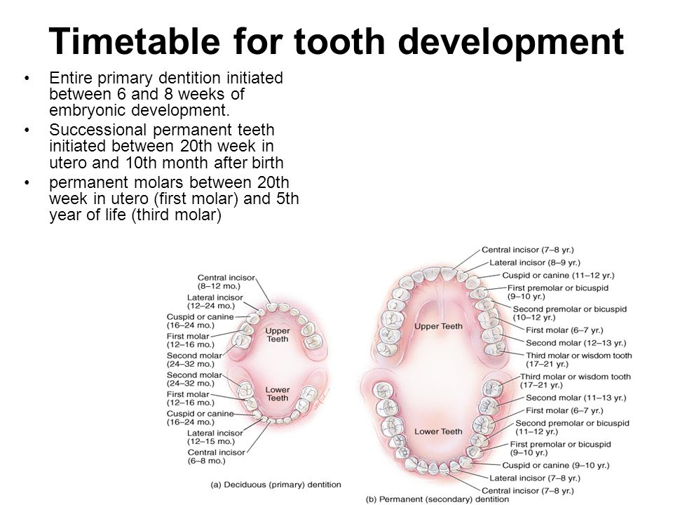 Timetable for tooth development