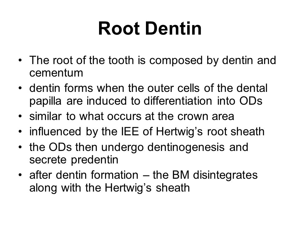 Root Dentin The root of the tooth is composed by dentin and cementum