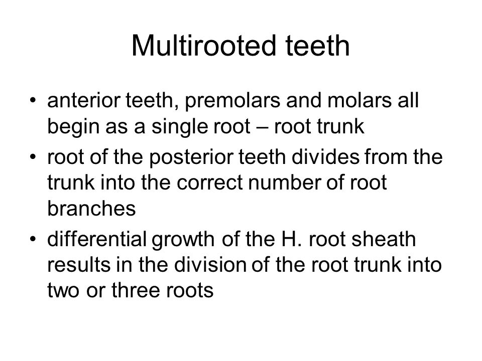 Multirooted teeth anterior teeth, premolars and molars all begin as a single root – root trunk.