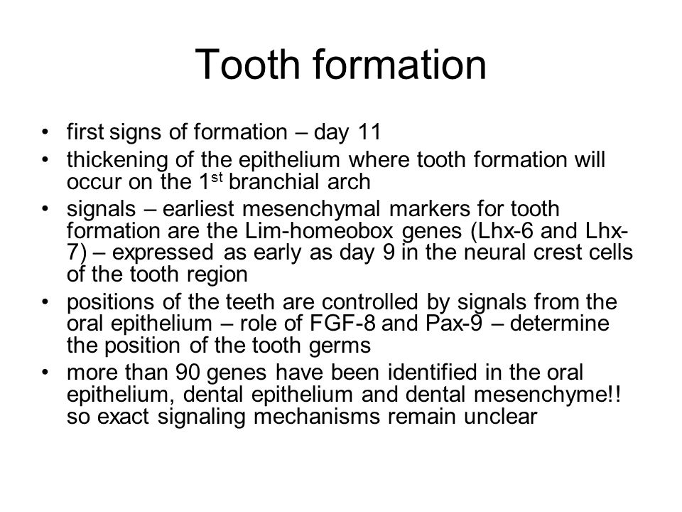 Tooth formation first signs of formation – day 11