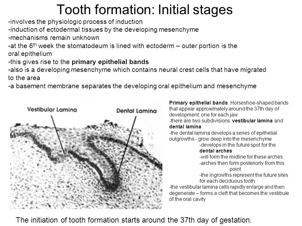 Tooth formation: Initial stages