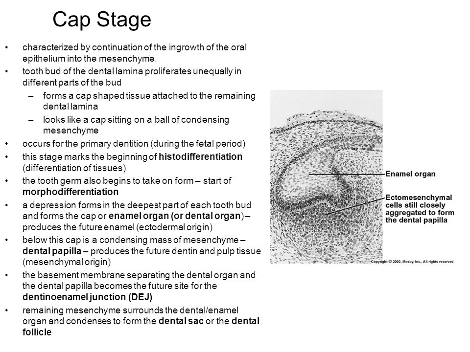 Cap Stage characterized by continuation of the ingrowth of the oral epithelium into the mesenchyme.